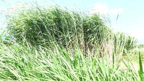 Napier Grass In Farm Plants. Wind, Napier Grass (Pennisetum purpurerum) In Farm Plants at Don Duong town, Da Lat, Vietnam. Da Lat is the capital of Lam Province stock video
