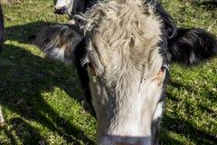 Napier, Nueva Zelanda, vaca Imagenes de archivo
