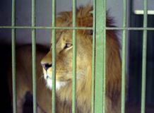 NAPLES, ITALY, 1960 - A beautiful and young lion looks over the bars of his cage in the Naples Zoo in search of freedom. NAPLES, ITALY, 1960 - A beautiful and royalty free stock photos