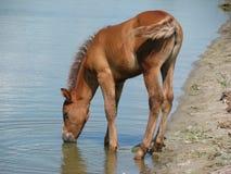 napojów źrebięcia jeziora woda Zdjęcie Royalty Free