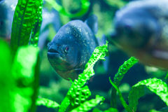 Napolean fish in the aquarium Royalty Free Stock Photo