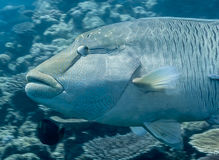 Napolean fish at Great Barrier Reef Royalty Free Stock Image