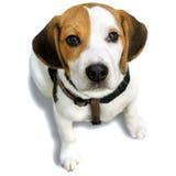 Napoleon, beagle del perrito. blanco, negro y amarillento Fotografía de archivo libre de regalías