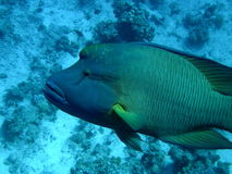 Napoleon Bump Head Wrasse Royalty Free Stock Images