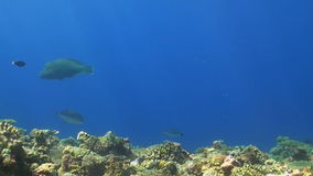 Napoleon on a coral reef. Humphead wrasse stock video