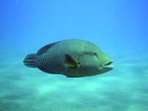 Napoleon Fish. In SSH Egypt Stock Photos