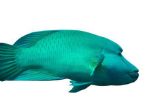 Napoleon fish. Isolated. red sea royalty free stock photography