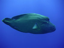 Napoleon Fish. Maldives Stock Image