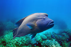 Napoleon Fish. Also known as humphead maori wrasse swimming at the Great Barrier Reef in the Whitsundays, Australia Stock Images