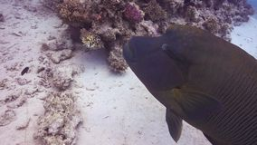 Napoleon Fish on Coral Reef. Underwater scene stock video footage