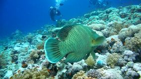 Napoleon Fish on Coral Reef, underwater scene stock video