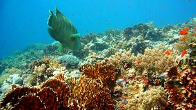 Napoleon Fish on Coral Reef, underwater scene stock video footage