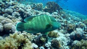 Napoleon Fish on Coral Reef, underwater scene. Red sea stock video