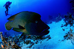 Napoleon fish. In front of the camera, Indian Ocean, Maldives Royalty Free Stock Photo