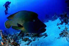 Napoleon fish Royalty Free Stock Photo