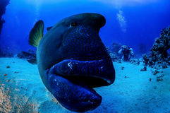 Napoleon fish. In front of the camera, Indian Ocean, Maldives Stock Photo