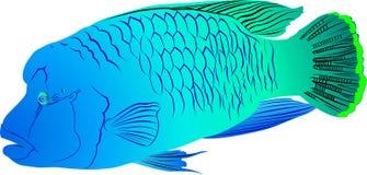Napoleon Fish Royalty Free Stock Images