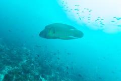 Napoleon Fish, Humphead wrasse (Cheilinus undulatus) Royalty Free Stock Photo