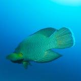 Napoleon Fish, Humphead wrasse Cheilinus undulatus Stock Images