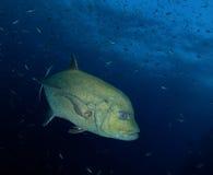Napoleon fish, Maldives royalty free stock photo