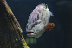 Napoleon fish, or Maori wrasse (lat. Cheilinus undulatus). Among the coral reefs slowly floats Napoleon fish, or Maori wrasse Stock Photos