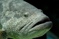 Napoleon fish, or Maori wrasse (lat. Cheilinus undulatus). Among the coral reefs slowly floats Napoleon fish, or Maori wrasse Stock Image