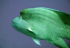 Napoleon Fish no mar Foto de Stock