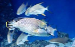 Napoleon fish or Maori wrasse. royalty free stock photos