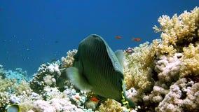 Napoleon Fish på Coral Reef, undervattens- plats lager videofilmer
