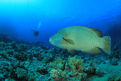 Napoleon Fish and Scuba Diver Royalty Free Stock Images