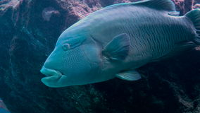 Napoleon Fish in Sea. stock video footage