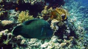 Napoleon Fish in Sea. stock footage