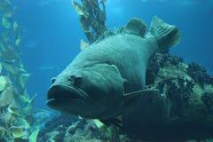 Napoleon fish swimming Stock Photography