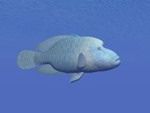 Napoleon fish underwater - 3D render Royalty Free Stock Image