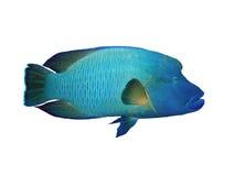 Napoleon fish on a white Stock Image