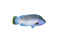 Napoleon Fish On White Royalty Free Stock Images
