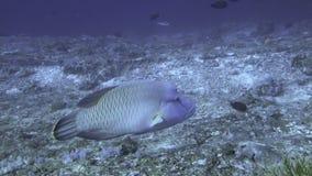 Napoleon fisk på Coral Reef lager videofilmer