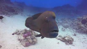 Napoleon fisk på Coral Reef arkivfilmer