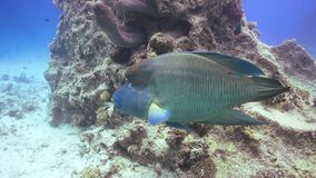 Napoleon fisk på Coral Reef stock video