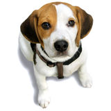 Napoleon, puppy Beagle. white, black and Beige Royalty Free Stock Photography