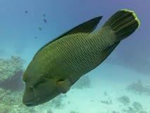 Napoleon ryba cheilinus undulatus od strony obraz stock