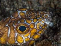 Napoleon snake eel, Ophichthus bonaparti. Close-up of the head of an Napoleon snake eel, Ophichthus bonaparti. Alor Archipelago, Lesser Sunda Islands, Indonesia Royalty Free Stock Photo