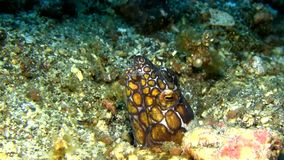 Napoleon snake eel Ophichthus bonaparti in the night in Lembeh strait stock footage