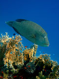 Napoleon wrasse Stock Photos