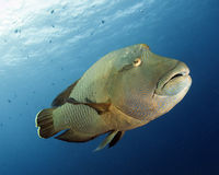 Napoleon wrasse, (cheilinus undulatus), endangered Stock Photo