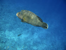 Napoleon wrasse and coral reef Royalty Free Stock Photos