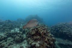 Napoleon-Wrasse im Roten Meer Stockfotos