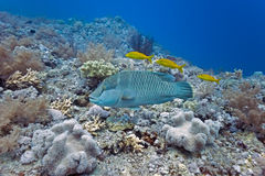 Napoleon wrasse and onespot snapper Stock Image
