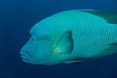 Napoleon Wrasse in the Red Sea royalty free stock photography