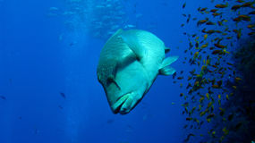 Napoleon wrasse at shark reef Stock Image